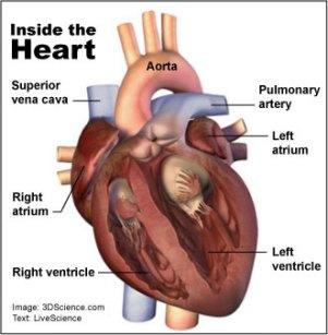 human-heart.jpg