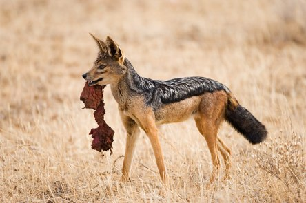 http://tnaron.files.wordpress.com/2008/03/silver-backed-jackal.jpg